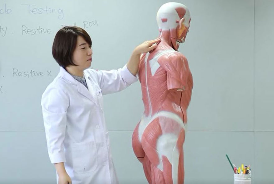 A physiotherapist points out muscles on a medical training model